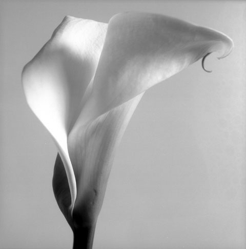 Series of photos named Flowers: Arum, photo Paul Maurer