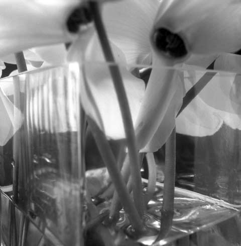 Series of photos named  Flowers: Cyclamens in a Vase, photo Paul Maurer