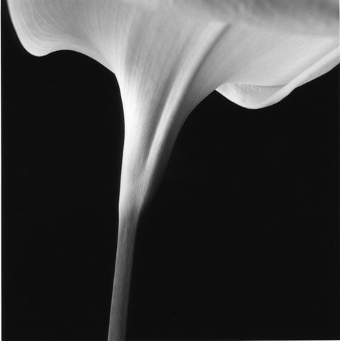 Series of photos named Flowers: Arum's stem, photo Paul Maurer