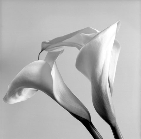Series of photos named Flowers: Couple of Arums, photo Paul Maurer