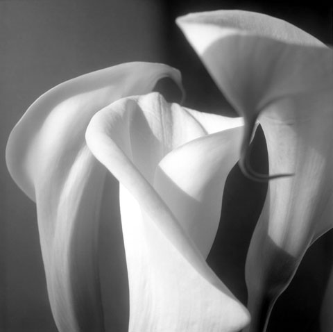 Series of photos named  Flowers: 3 dancing Arums, photo Paul Maurer
